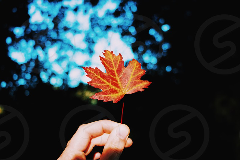 Autumn leaf season outside hand cozy turning red colourful garden autumn leaf holding one person nail skin  photo