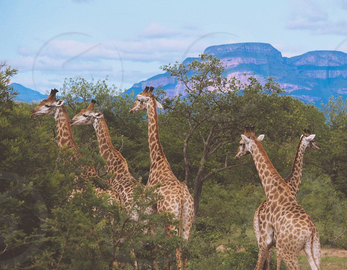 A Group of Giraffes in South Africa photo