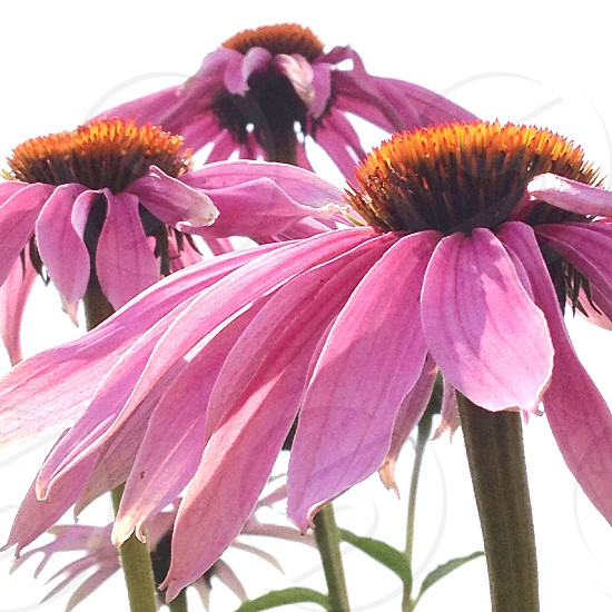 Echinacea wildflower prairie plant. photo