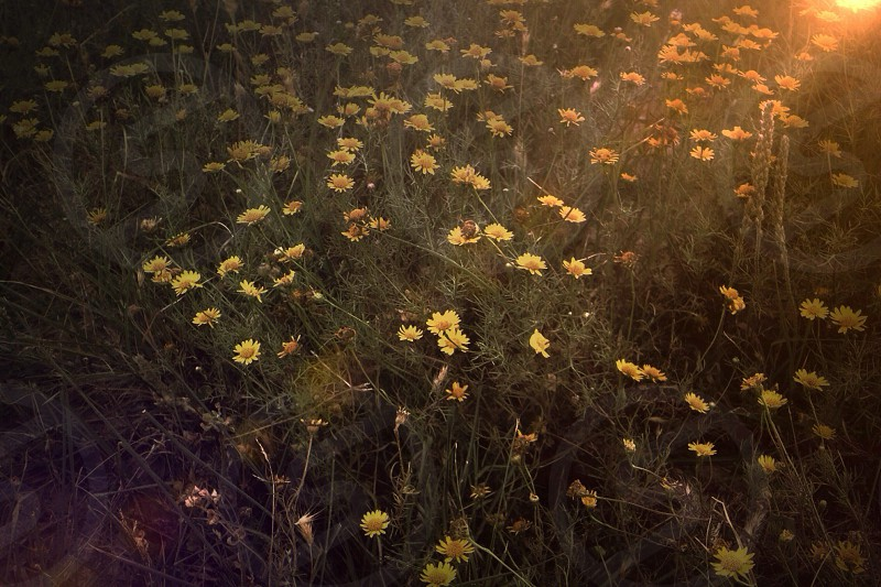 grass with yellow daisies photo