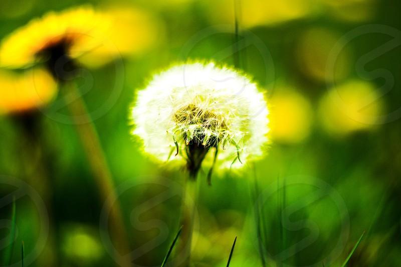 dandelion plant photo