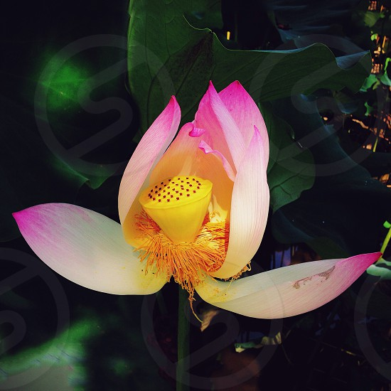 yellow pink and white flower photo