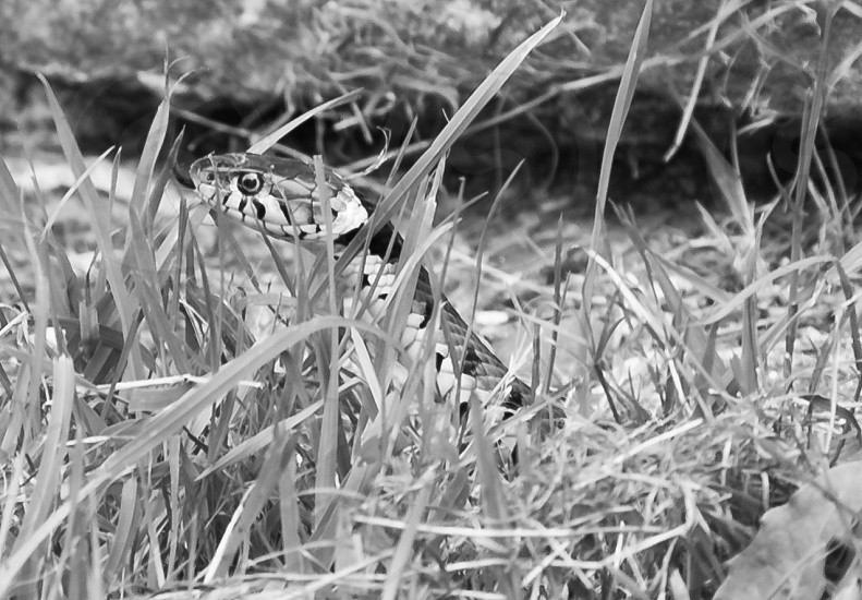 An English Adder (snake) in the Surrey Countryside photo