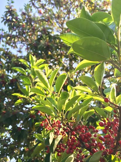 クロガネモチ(Round Leaf Holly) photo
