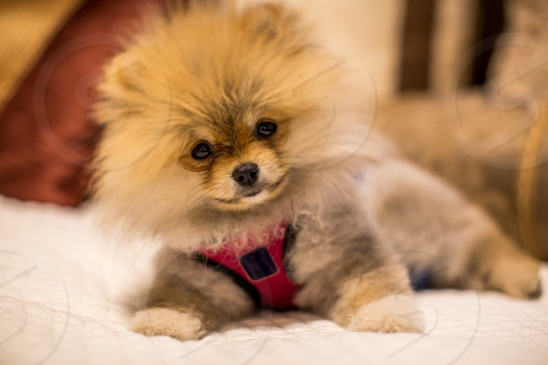 Pomeranian Puppy 6 Months old and so lovable  photo