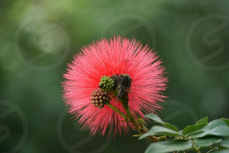 Tree tropical Hawaii flower  photo