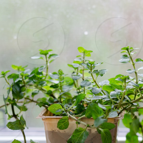 Mint growing on a window sill photo