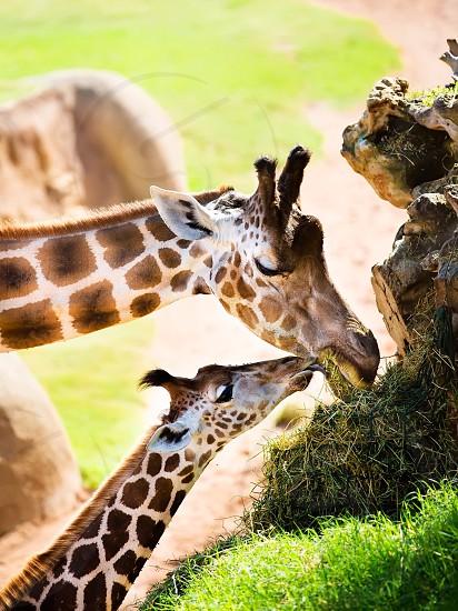 Cute giraffe family zoo animal mom and son baby kid street people photo