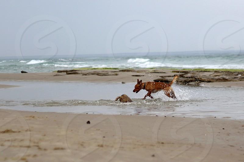 brown dog near sea photo