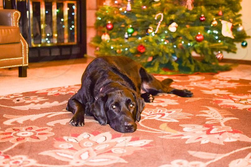 black labrador lying behind christmas tree photo