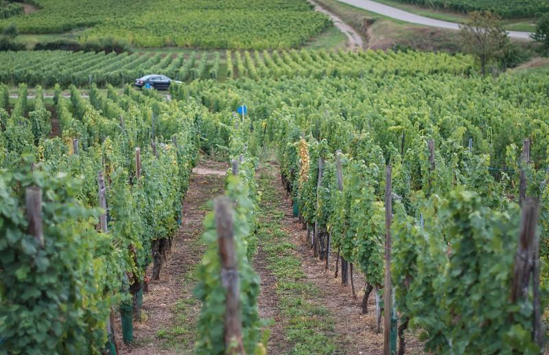 grape field photography photo