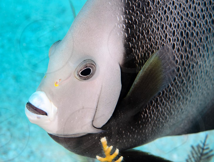 A portrait of a gray angelfish. photo