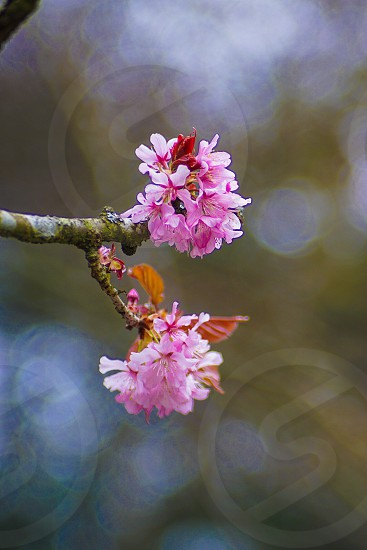 Pink blossom closeup with shallow depth of field and bokeh  photo