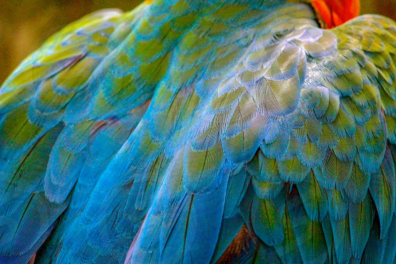 green blue and red macaw photo