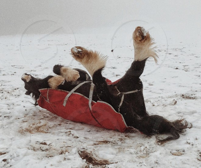 Horse enjoying the snow in his red rug photo