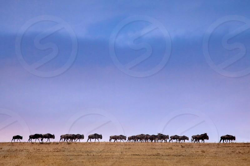wildebeests walking on brown field during daytime photo
