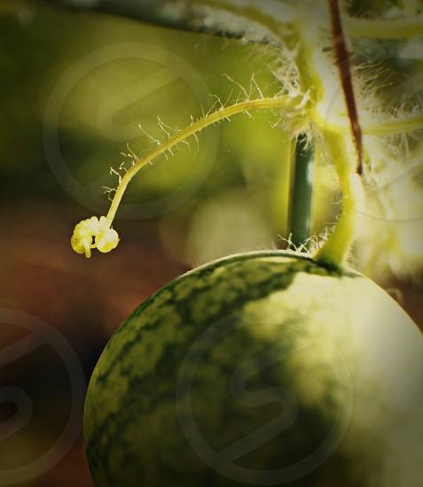 Melon grow farm fruit farmscapinggarden watermelon  photo