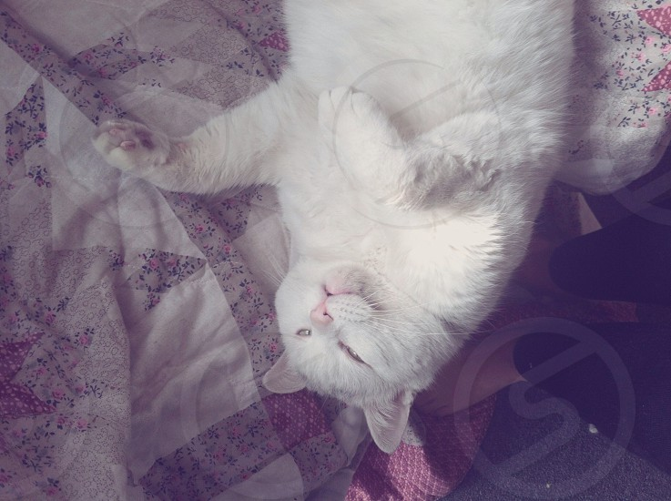 white persian cat photo