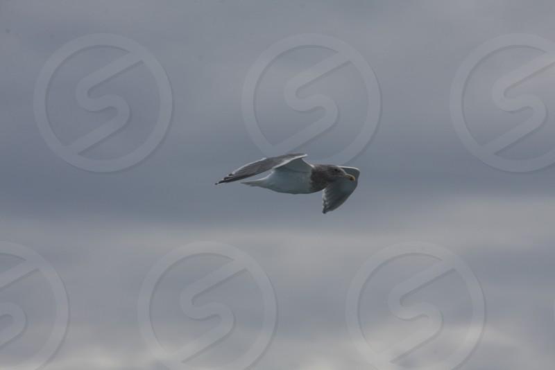 bird flying grey sky photo