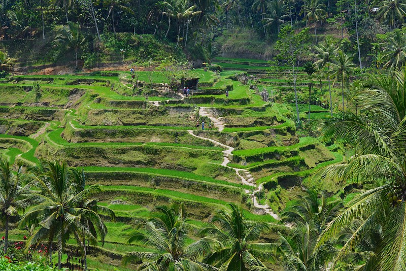 Green terraced rice paddy fields photo