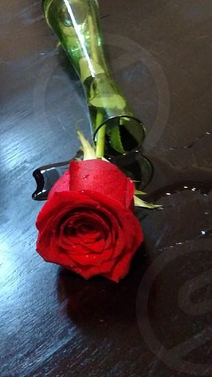 Rose fallen photo