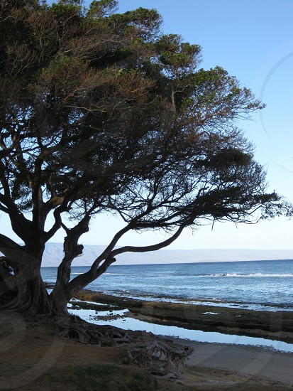 Maui beach tree photo