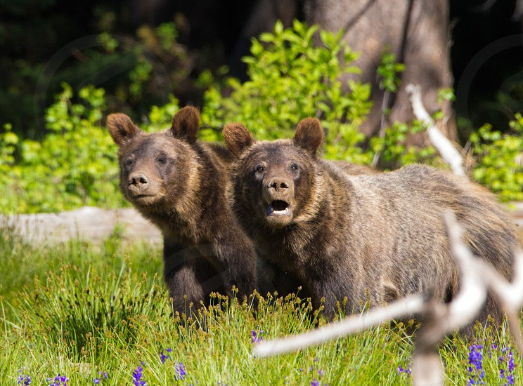 grizzly cubs animals baby animals bear bear cubs twins brothers sisters siblings yellowstone national park  photo
