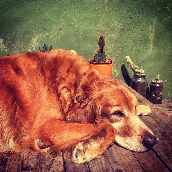 brown dog on wooden table photo