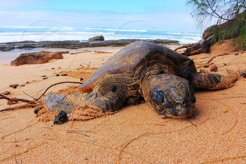 A napping turtle on the beach in Hawaii. photo