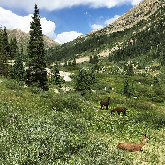 Alpacas mountains hiking camping backpacking Colorado  photo