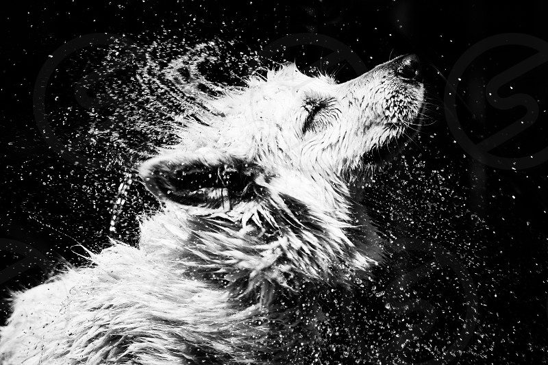 dog water swimming dogs lake newfoundland white samoyed nature golden amsterdam color attentive retriever city thirst fountain thirsty animal outdoors reflection eyes black domestic pet fur friend coat canine breed majestic best pedigree hunter pointer doggy dutch proud wake magnificent hound noble hungarian mutt regal pooch stately longhair mans kingly photo