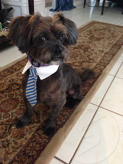 Dog with tie on  photo