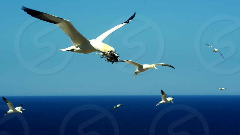 Gannets over the river photo