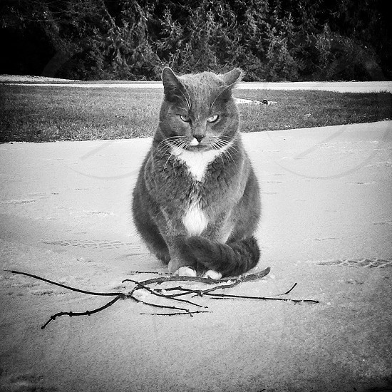gray scale russian blue cat animal photography photo