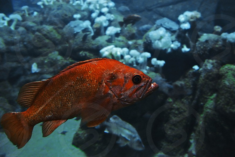 orange fish photo