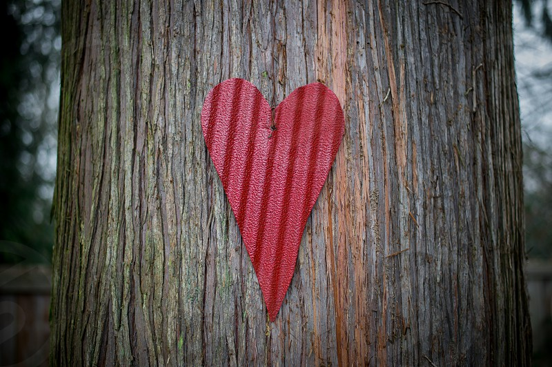 Corrugated metal heart on a Cedar in the woods photo