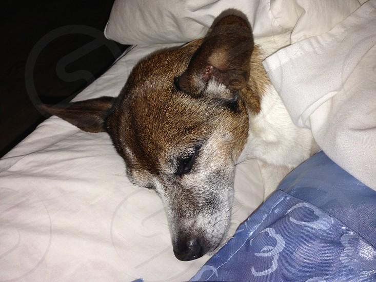 Cute dog sleeping Jack Russell  photo