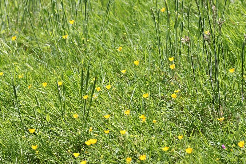 field pf buttercups in Seattle photo