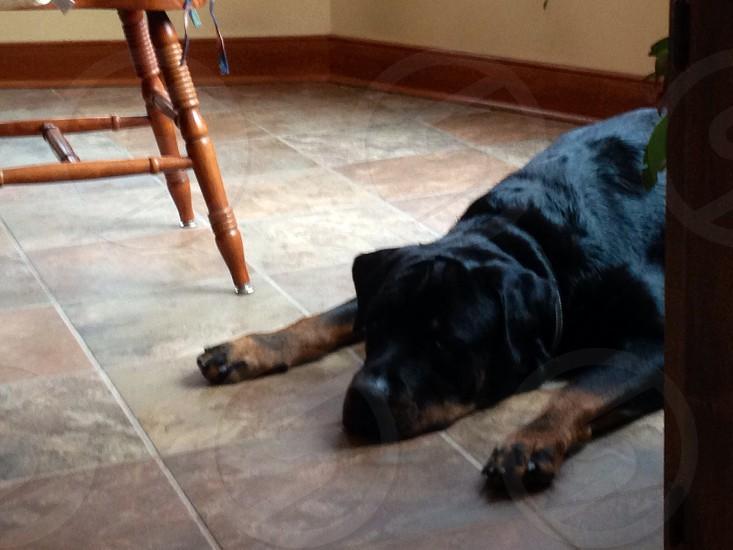 black dog on ceramic tile beside wooden chair photo