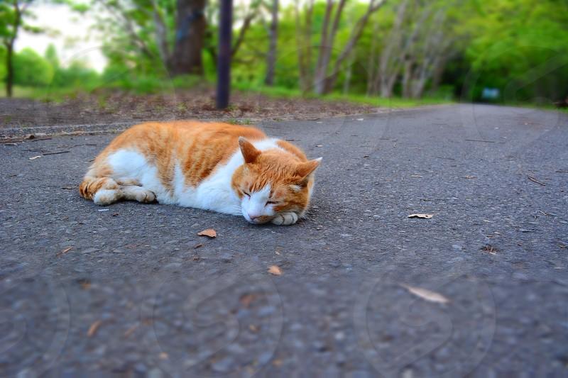 orange tabby cat with white paws photo