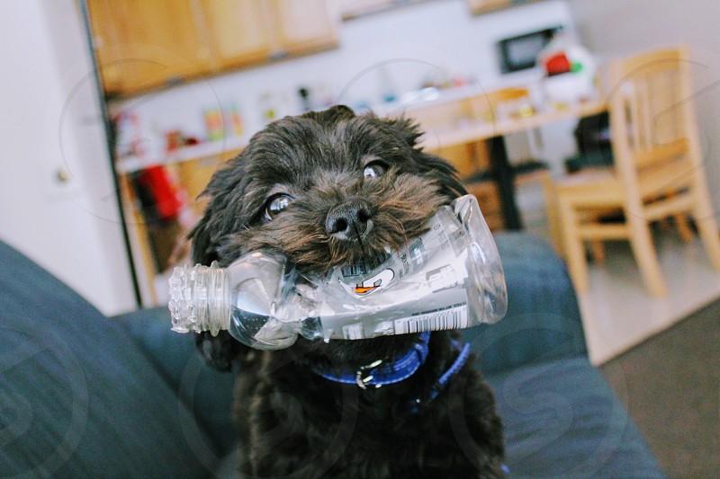Shih-poo puppy holding an empty gatorade bottle photo