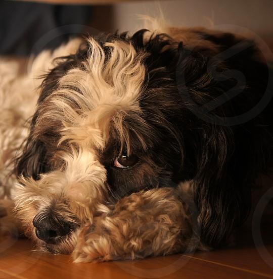 Spot resting. photo