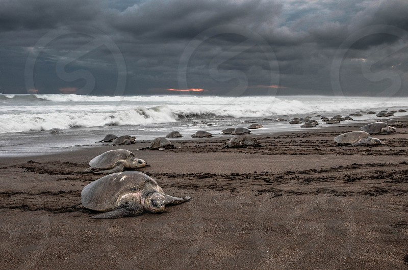 Turtles arrival Playa Ostional Costa Rica. photo
