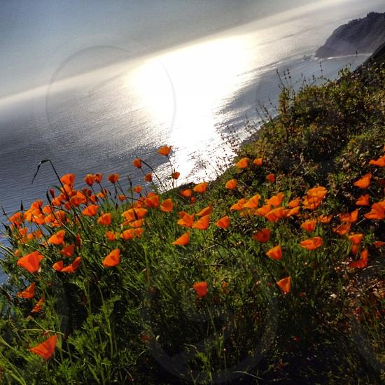 orange poppy flowers photo