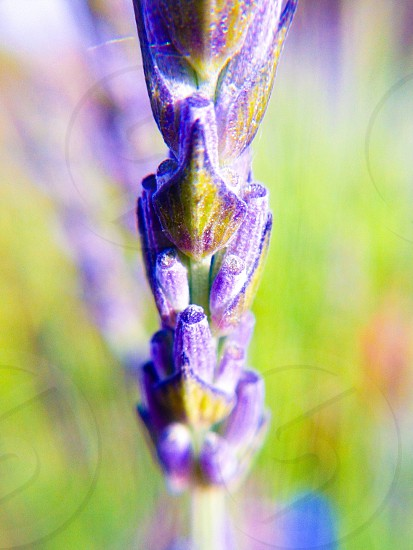 Lavender of Provence photo
