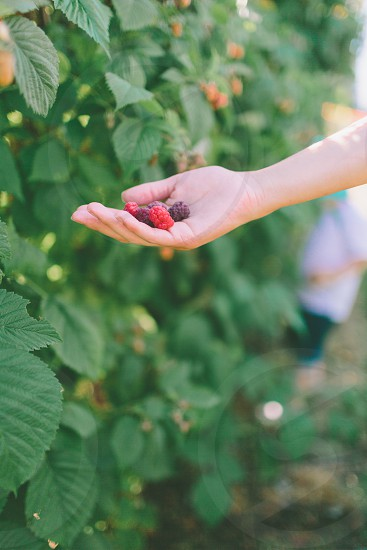 A hand full of picked berries. photo
