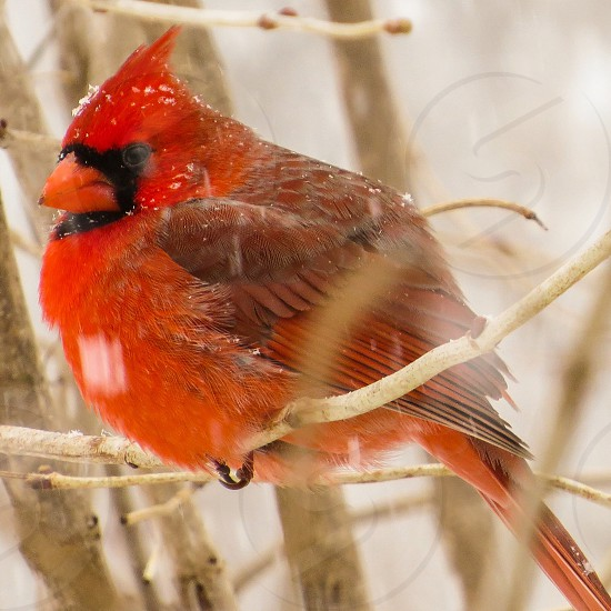 Red Cardinal in the snow photo