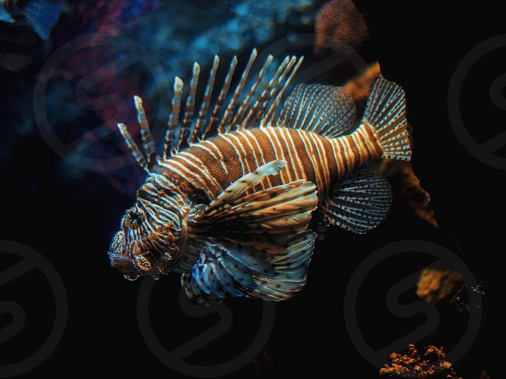Very curious Common Lionfish coming very close to investigate the camera. Devil firefish Pterois miles on a background of a coral reef. in aquarium. photo