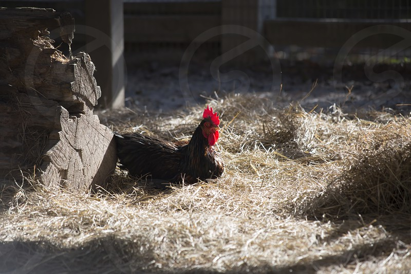 Rooster keeping watch photo