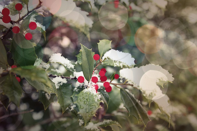 holly Christmas red green snow winter botanical nature photo